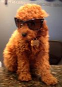 Chewy the Dog with Sunglasses-Specs